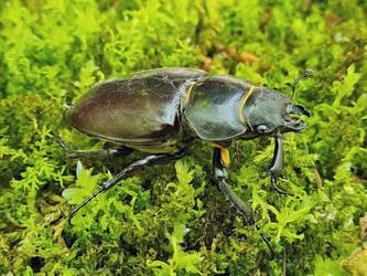 Female Stag Beetle