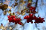 Highbush Cranberry Bokeh?