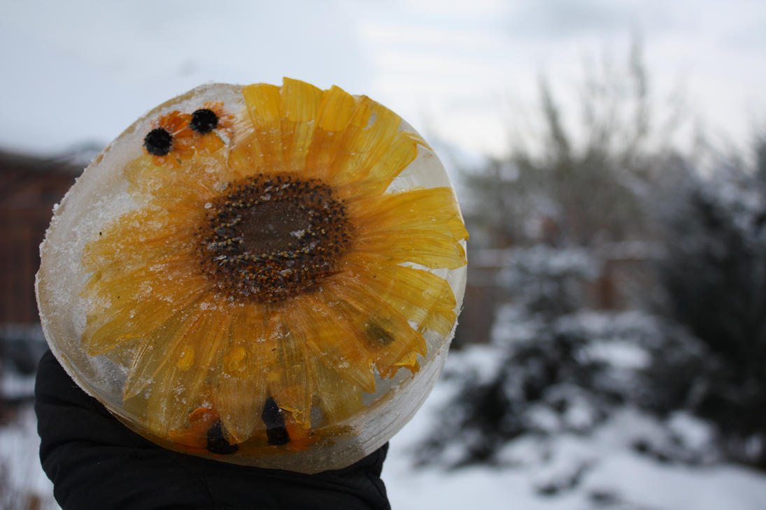 Frozen Sunflower in my Garden by KeswickPinhead on DeviantArt