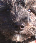 Terry the Yorkiepoo in yr face