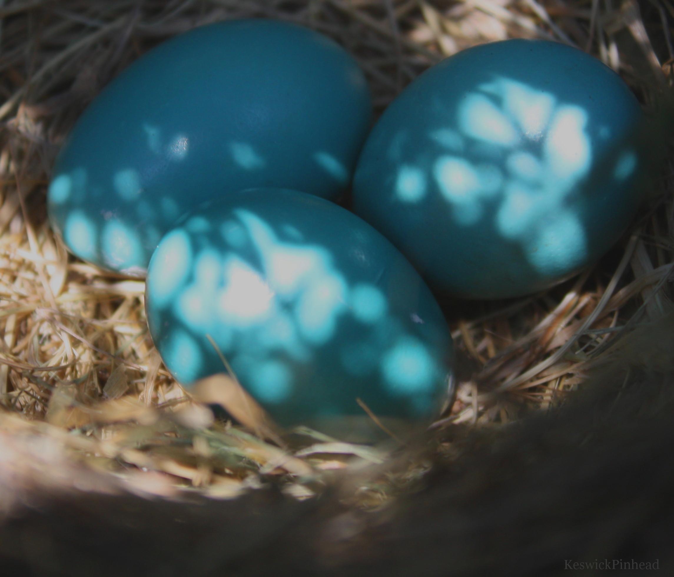 Three Robin Eggs by KeswickPinhead