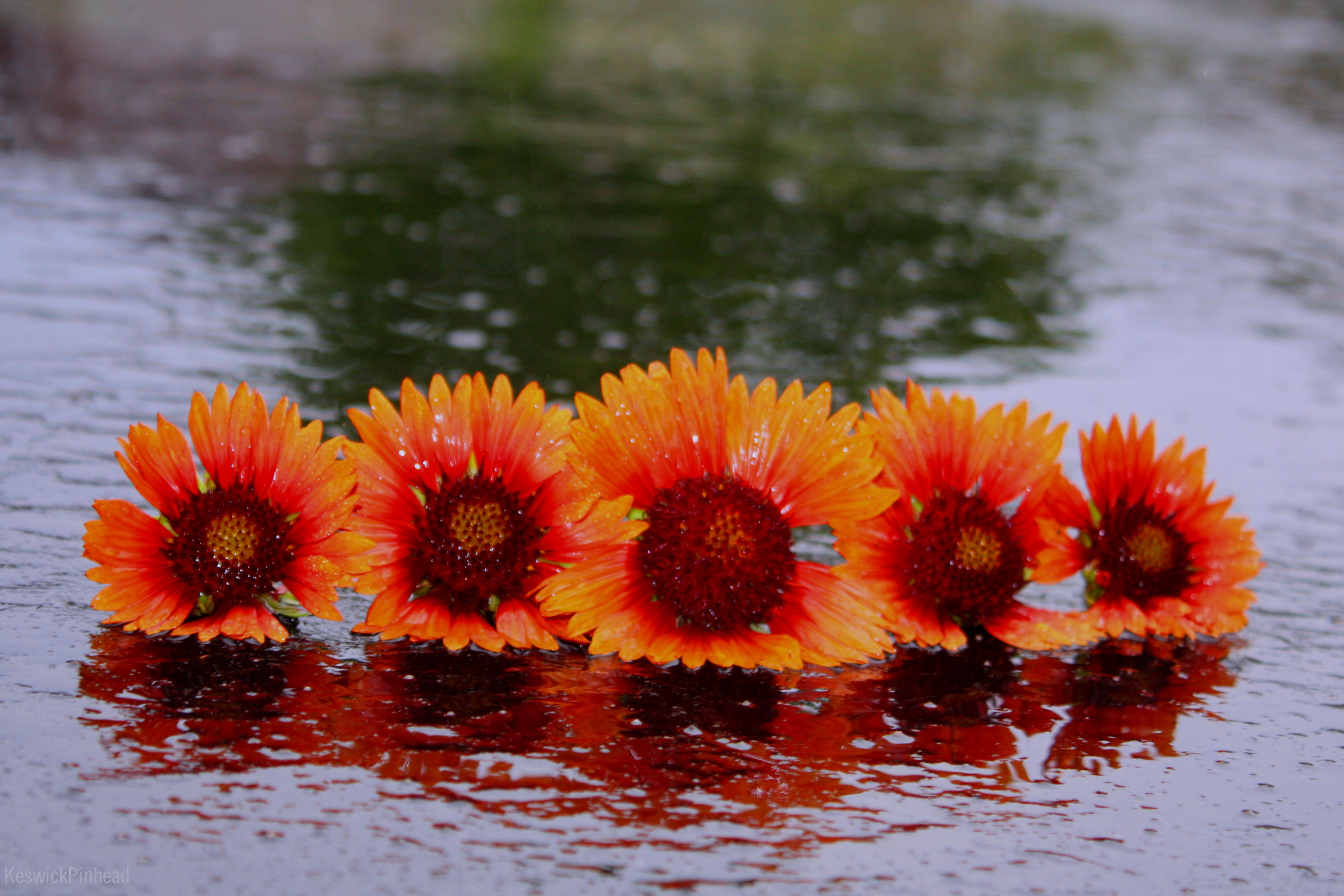 Gaillardia Reflections in the Rain by KeswickPinhead