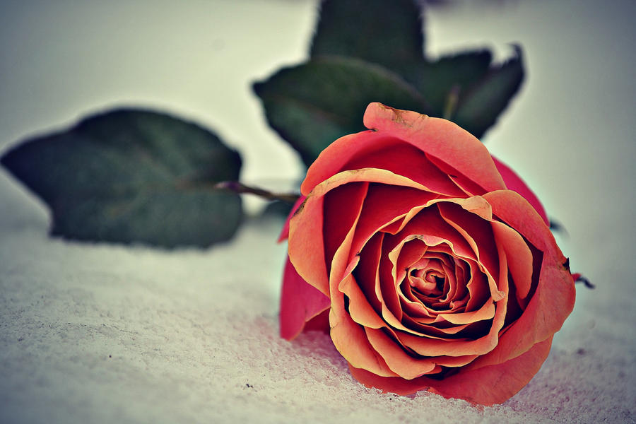 Fallen Rose II by Luna-Hikaru