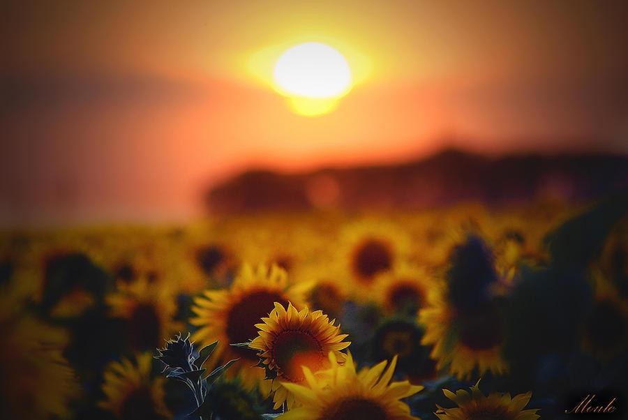 Sunset Over Sunflower Field By LienMoule