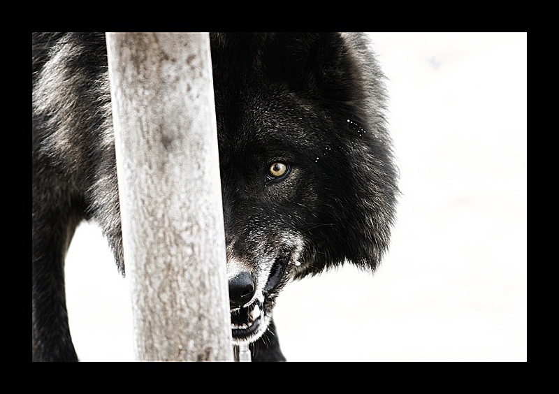 Angry Black Wolf With Blue Eyes