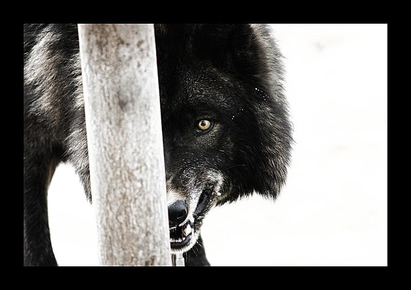 black wolf by ~balinlesavage