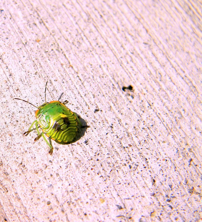 Stink Bug Nymph by Steppenwulfe