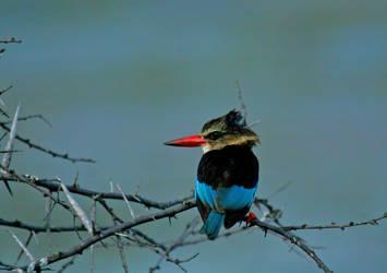 brown hoodid kingfisher