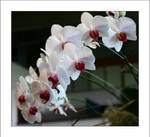 Perfect White Orchids