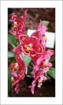 Vivid pink orchids
