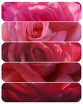 All the pretty red roses
