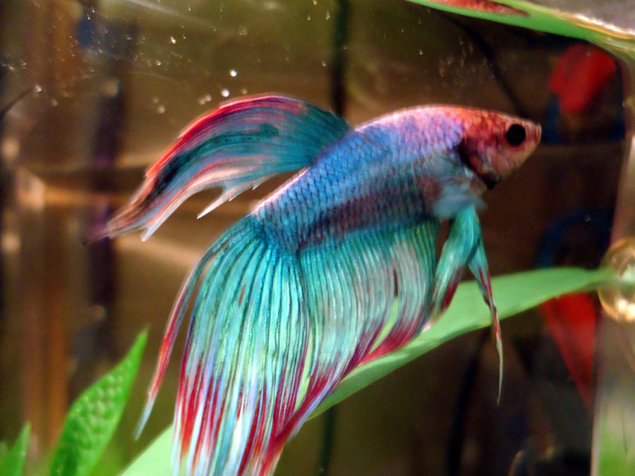 rainbow with fins betta opal by ultrarodimus