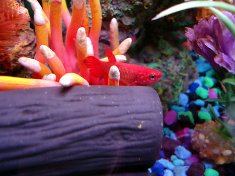 The Red Lady - Betta Ruby