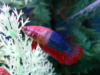 The Amazing Color-Changing Betta