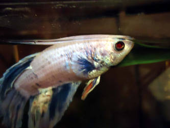 Evil Betta Is Watching You