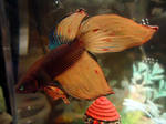 Orange and Turquoise - Betta Ember