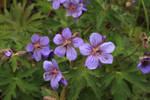 Wild Purple Alaskan Flowers