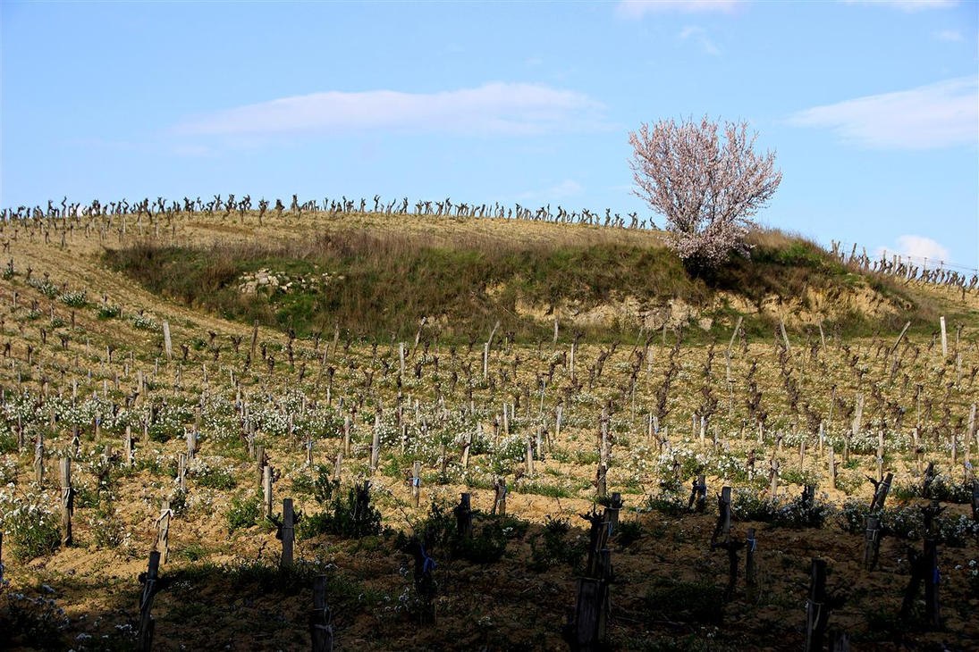 Vineyards to Limoux by Gerfer
