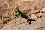 Mantis religiosa by Gerfer