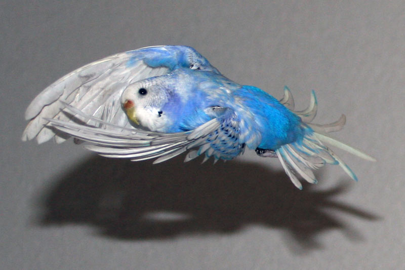 fly like a budgie by budgielicious
