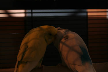 budgies in love by budgielicious