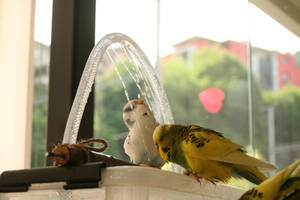 budgies showering by budgielicious