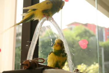 Lemon showering by budgielicious