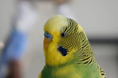 Portrait of Lemon by budgielicious