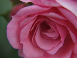 Pink Rose by suburban-cowboy