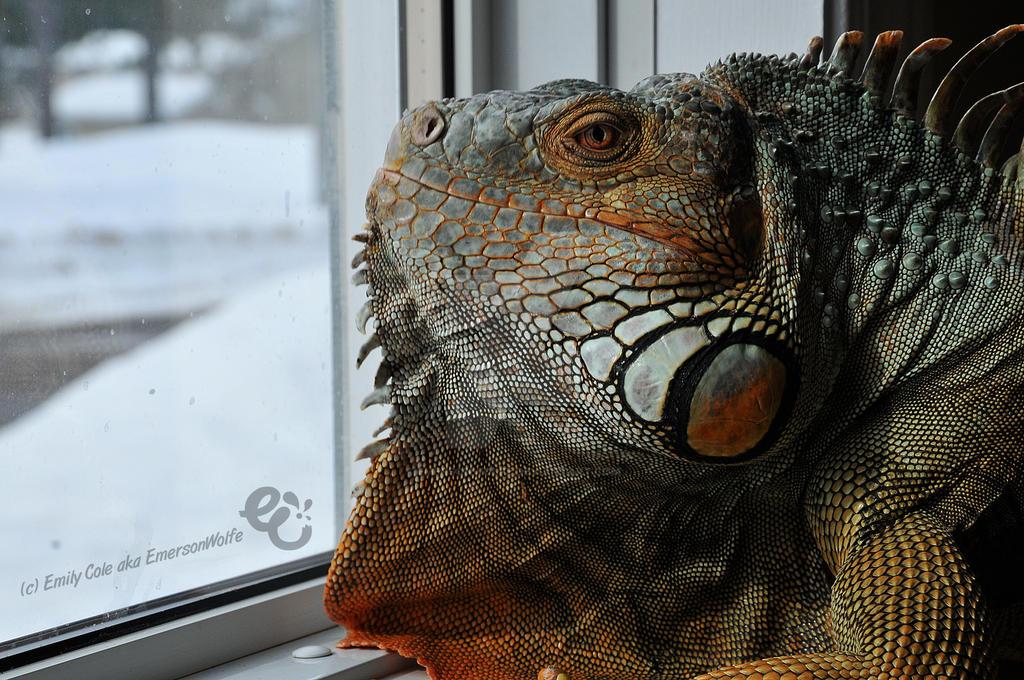 Hendrix the Iguana 1 by EmersonWolfe