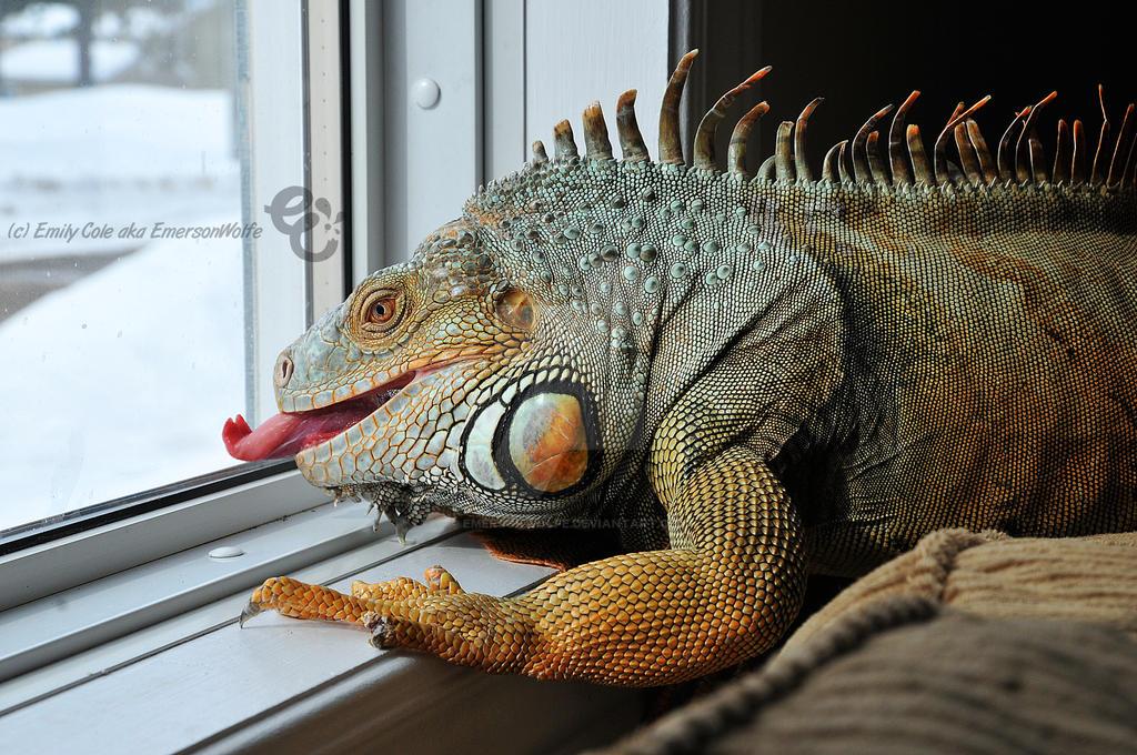 Hendrix the Iguana 2 by EmersonWolfe