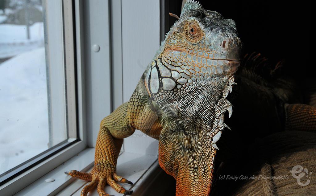 Hendrix the Iguana 3 by EmersonWolfe