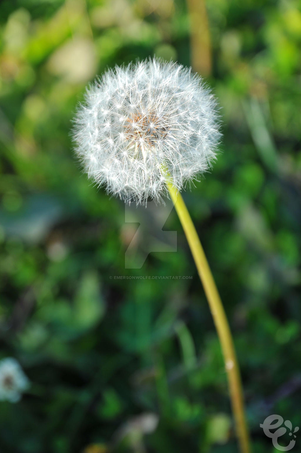 Dandelion by EmersonWolfe