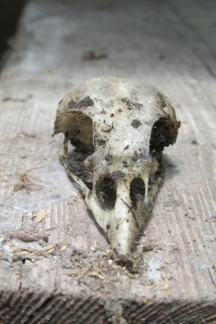 AzurylipfesStock2017-Bird skeleton head (1) by AzurylipfesStock