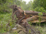 old fallen tree 2 by AzurylipfesStock