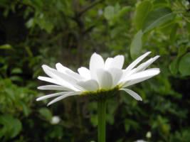 big daisy 4