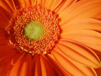 orange 4 by coralicious