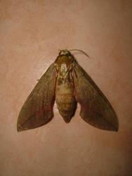 Night-flying Moth
