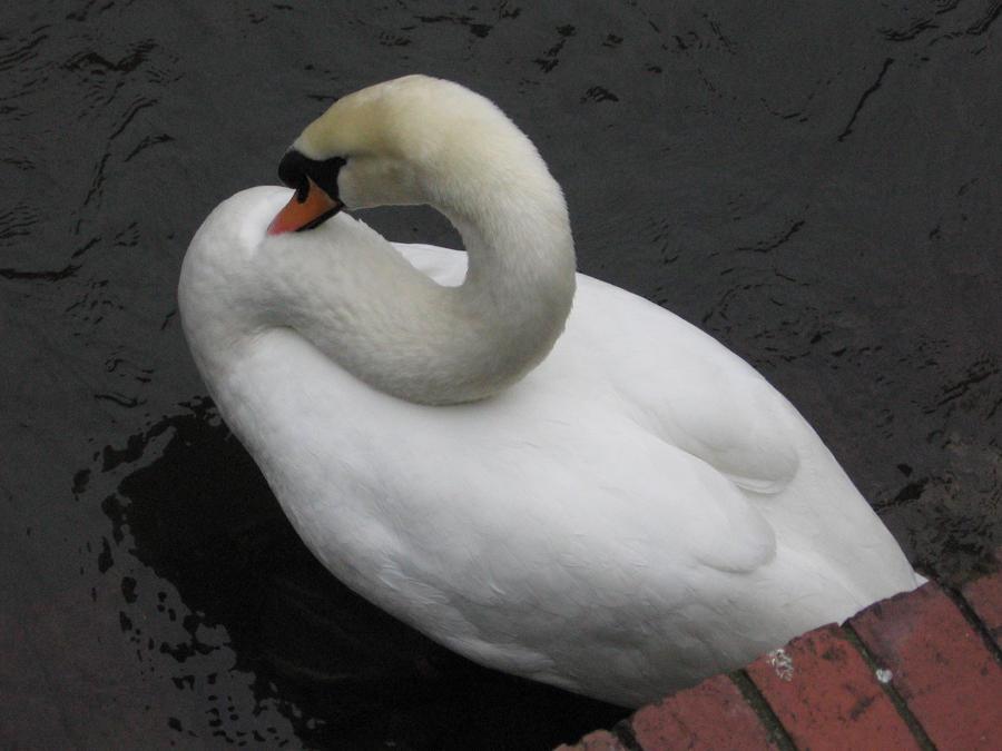 Salisbury Swan by NoCyg