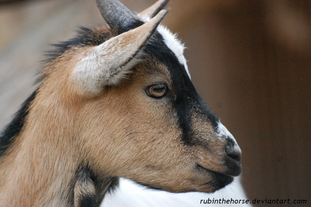 Dwarf Goat by RubintheHorse