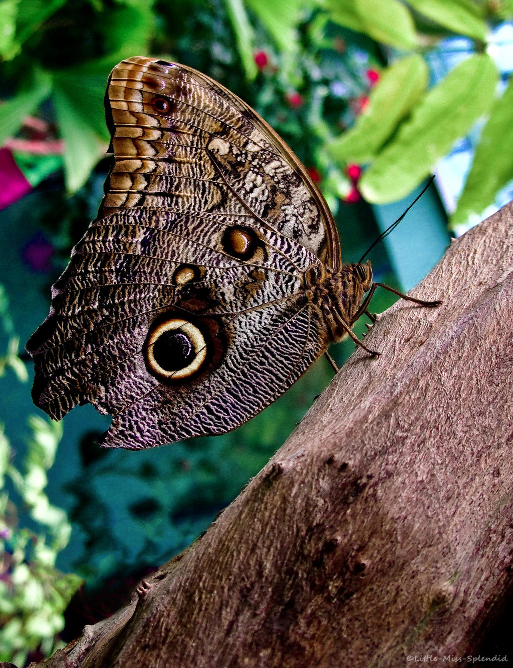 Owl Butterfly by Little-Miss-Splendid