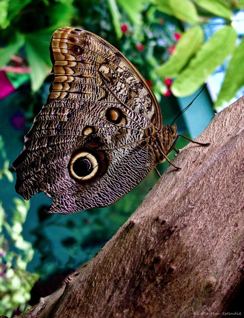 Owl Butterfly by Little-Miss-Splendid