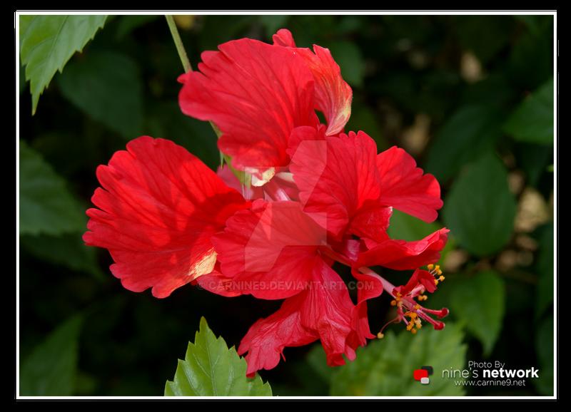 Bunga Raya Bunga Kebangsaan Malaysia By Carnine9 On Deviantart