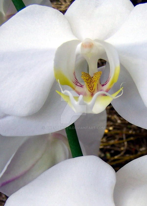 white orchid3