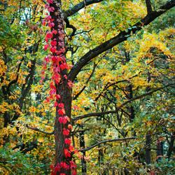 Red ivy_2