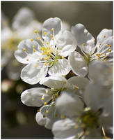 Cherries and Spring by aare