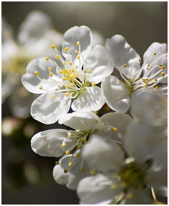 Cherries and Spring