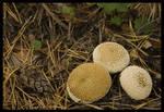 Lycoperdons