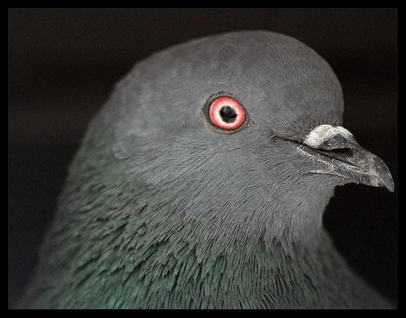 Dove Portrait by aare