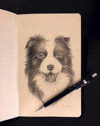 Border Collie Sketch